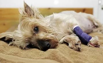 клещи у собак пироплазмоз