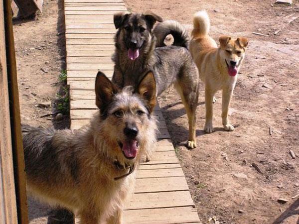 приют Зов Предков собаки