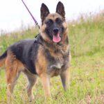 Марта собака из приюта на пристройство, частный приют Зов Предков zovpredkov.net фото 11