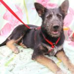Брауни собака из приюта на пристройство, частный приют Зов Предков zovpredkov.net фото 1