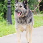 Брауни собака из приюта на пристройство, частный приют Зов Предков zovpredkov.net фото 18