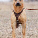 Фанта собака из приюта на пристройство, частный приют Зов Предков zovpredkov.net фото 12