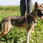 Малибу собака из приюта на пристройство приют для бездомных животных Зов Предков zovpredkov.net фото 8