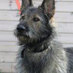 Перец собака из приюта на пристройство, частный приют Зов Предков zovpredkov.net фото 1