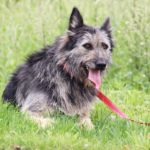 Брауни собака из приюта на пристройство, частный приют Зов Предков zovpredkov.net фото 21