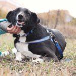 Николь собака из приюта на пристройство, частный приют Зов Предков zovpredkov.net фото 3