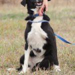 Николь собака из приюта на пристройство, частный приют Зов Предков zovpredkov.net фото 6