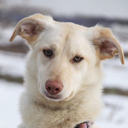 Мандаринка собака из приюта Зов Предков на пристройство