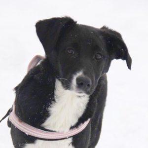 Николь собака из приюта для бездомных животных Зов Предков zovpredkov.net