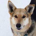 Сара собака из приюта для бездомных животных Зов Предков на пристройство