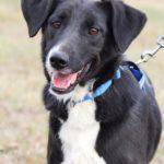 Николь собака из приюта на пристройство, частный приют Зов Предков zovpredkov.net фото 2