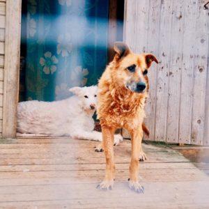 собака под опеку Дик, собака из приюта под опеку