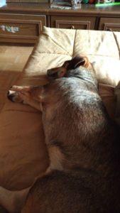 Принглс/Карс дома!  Счастливая история собаки из приюта Зов Предков zovpredkov.net