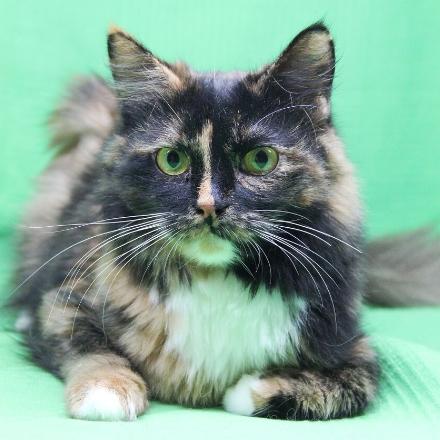 Фиона кошка из приюта для бездомных животных Зов Предков zovpredkov.net  кошка из приюта на пристройство