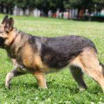 Марта собака из приюта на пристройство, частный приют Зов Предков zovpredkov.net фото 2