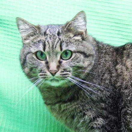 Нюша кошка из приюта для бездомных животных Зов Предков zovpredkov.net кошка из приюта на пристройство