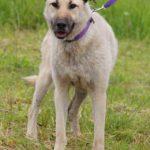 Топаз собака из приюта на пристройство, частный приют Зов Предков zovpredkov.net фото 6
