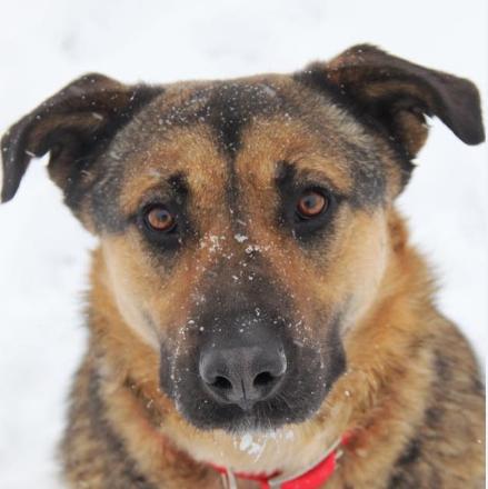 Босс собака из приюта Зов Предков на пристройство zovpredkov.net