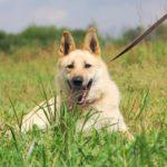 Ирбис собака из приюта на пристройство приют для бездомных животных Зов Предков zovpredkov.net фото 8