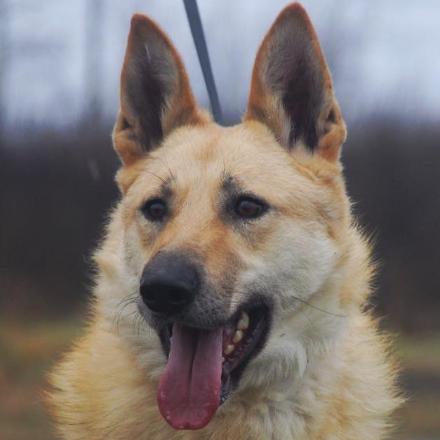 Ирбис собака из приюта Зов Предков на пристройство, собака в дар, овчарка бесплатно