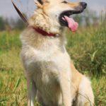 Ирбис собака из приюта на пристройство приют для бездомных животных Зов Предков zovpredkov.net фото 2