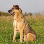 Федор собака из приюта на пристройство, частный приют Зов Предков zovpredkov.net фото 18