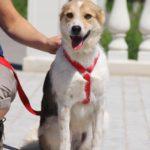 Луна собака из приюта на пристройство Зов Предков zovpredkov.net фото 3
