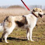Луна собака из приюта на пристройство Зов Предков zovpredkov.net фото 8