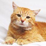 Руби кот из приюта Зов Предков на пристройство