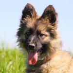 Гаврик щенок из приюта на пристройство zovpredkov.net фото7