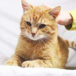 Руби кот из приюта на пристройство zovpredkov.net фото4