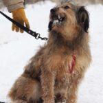 Глория собака из приюта Зов Предков фото 12