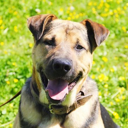 Титан собака из приюта на пристройство приют Зов Предков zovpredkov.net