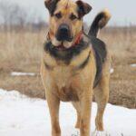Титан собака из приюта Зов Предков zovpredkov.net фото 13