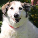 Зефирка собака из приюта на пристройство zovpredkov.net фото 2