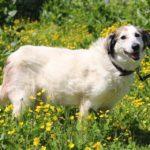 Зефирка собака из приюта на пристройство zovpredkov.net фото 4