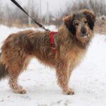 Глория собака из приюта Зов Предков фото 11