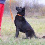 Черничка собака из приюта на пристройство, частный приют Зов Предков zovpredkov.net фото 4