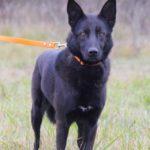 Черничка собака из приюта на пристройство, частный приют Зов Предков zovpredkov.net фото 3