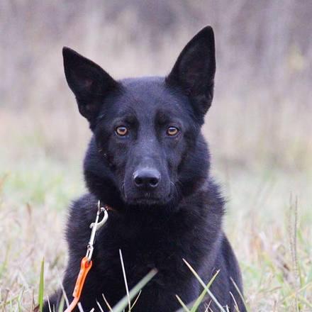 Черничка собака из приюта на пристройство, частный приют Зов Предков zovpredkov.net