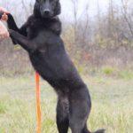 Черничка собака из приюта на пристройство, частный приют Зов Предков zovpredkov.net фото 5