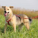 Каспер собака из приюта на пристройство, частный приют Зов Предков zovpredkov.net фото 5