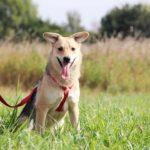 Каспер собака из приюта на пристройство, частный приют Зов Предков zovpredkov.net фото 8
