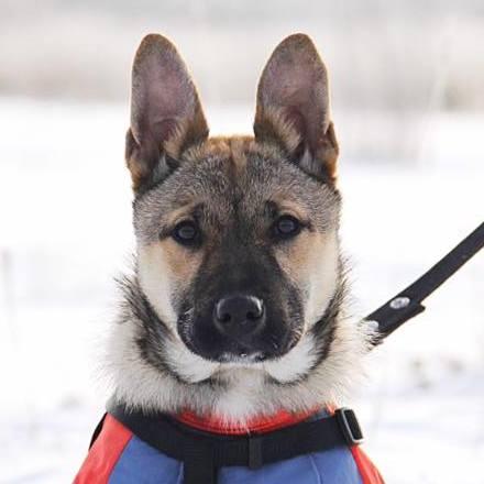 Айрис собака из приюта на пристройство, частный приют Зов Предков zovpredkov.net