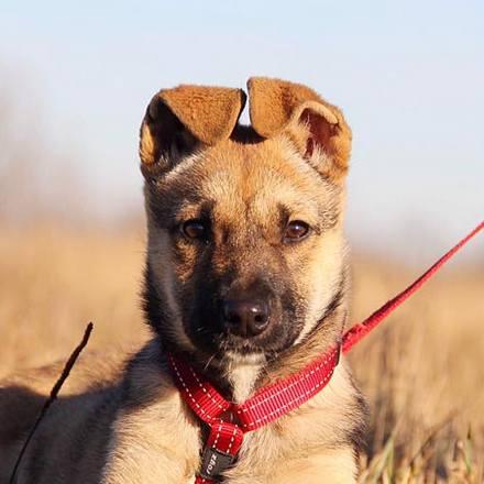 Айрис собака из приюта на пристройство  приют для бездомных животных Зов Предков zovpredkov.net