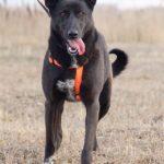Пандора собака из приюта на пристройство, частный приют Зов Предков zovpredkov.net фото 5