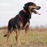 Бостон собака из приюта на пристройство приют для бездомных животных Зов Предков zovpredkov.net фото 5
