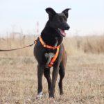 Пандора собака из приюта на пристройство, частный приют Зов Предков zovpredkov.net фото 6