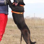 Пандора собака из приюта на пристройство, частный приют Зов Предков zovpredkov.net фото 2