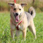 Каспер собака из приюта на пристройство, частный приют Зов Предков zovpredkov.net фото 4
